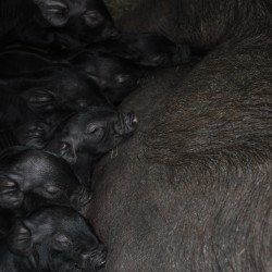 Piglets eating and sleeping.  Jealous!
