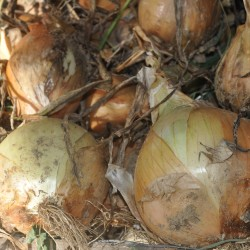 Heirloom Onions.  You can't even find these at the store.  No comparison.