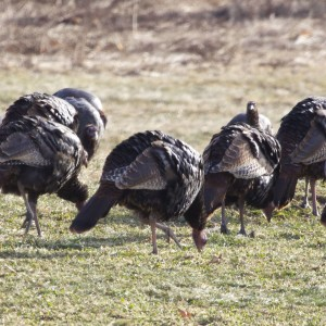 Wild turkeys walk through a field in Searsmont near the Ridge to River Trail, a footpath maintained by the Georges River Land Trust, on Jan. 3, 2015. (BDN photo by Aislinn Sarnacki)