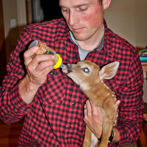 Maine game warden Kristopher MacCabe feeds Pedialyte to a baby deer at his western Maine home on June 4, 2012. The deer had been presumed abandoned by a local resident and delivered to the MacCabes. It later died. The Maine Department of Inland Fisheries and Wildlife urges people to leave wildlife alone; many times, baby animals are left on their own by their mother for hours at a time, but return after foraging. Photo courtesy of Emily MacCabe.