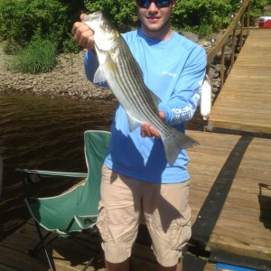 Hunter Pate of Orrington shows off a striped bass he caught recently off his family's dock on the Penobscot River. Pate, his family and friends had caught 39 stripers over a six-day span. (Photo courtesy of Sue Pate)