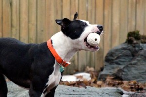 Oreo playing with his Orbee-Tuff ball by Planet Dog.