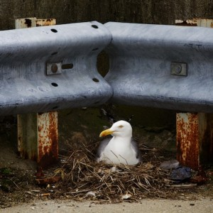A herring gull sits on a nest in the corner of the top deck of the Gateway Garage in Portland Monday. Troy R. Bennett | BDN