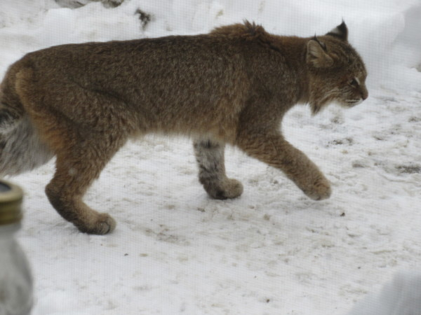 This bobcat has been seen around several houses in Orono and has killed at least one house cat. A Maine game warden says residents should keep their pets inside as much as possible and avoid leaving food that may attract the bobcat.