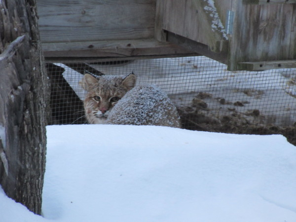 A bobcat checks out its surroundings in an Orono neighborhood recently. The bobcat has been seen around several houses and has killed at least one house cat. A Maine game warden says residents should keep their pets inside as much as possible and avoid leaving food that may attract the bobcat.