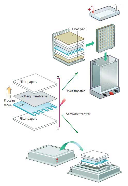 Separating proteins to a blotting Membrane - Western Blotting Bio-Rad
