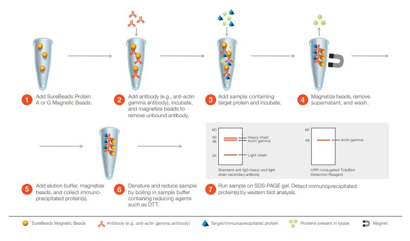 Western Blot Detection of IP Samples Bio-Rad