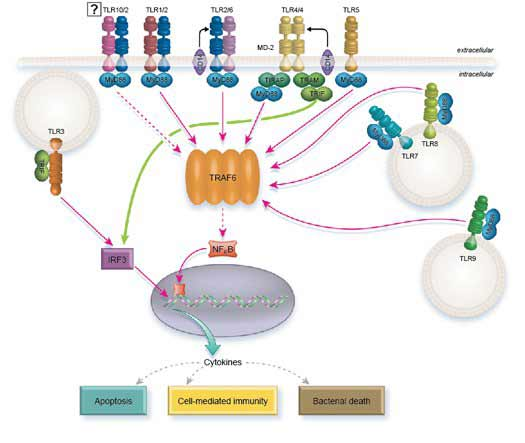 Toll-like Receptor (TLR) Minireview Bio-Rad