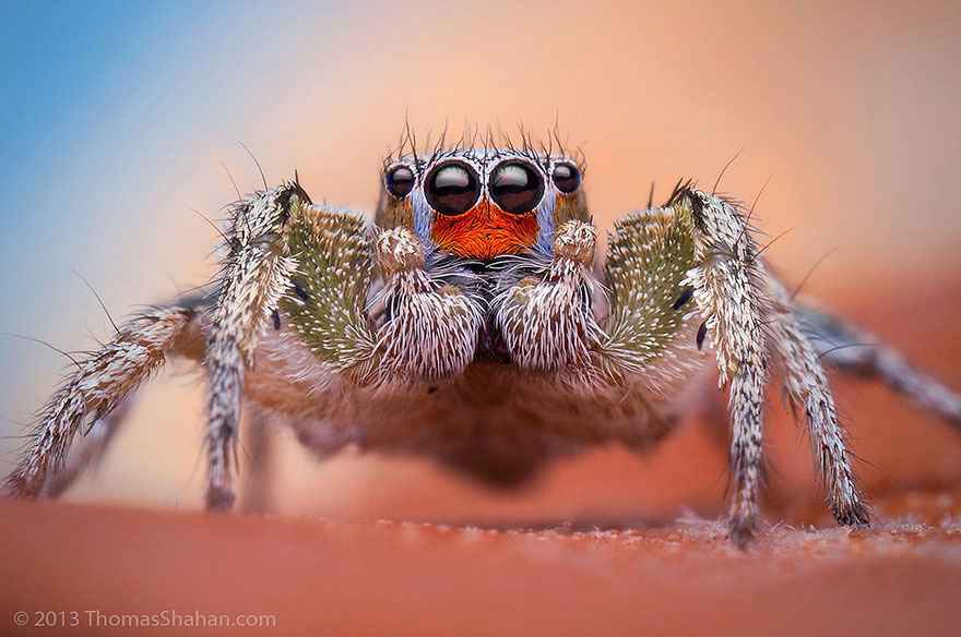 Cute Jumping Spider Wallpaper Macro Photos Of Cute And Cuddly Jumping Spiders By Thomas