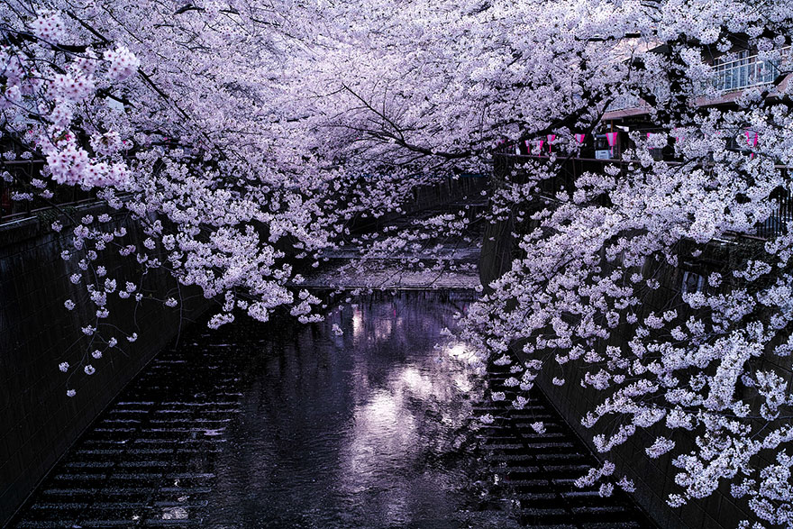 21 Of The Most Beautiful Japanese Cherry Blossom Photos Of 2014 - cherry blossom animated