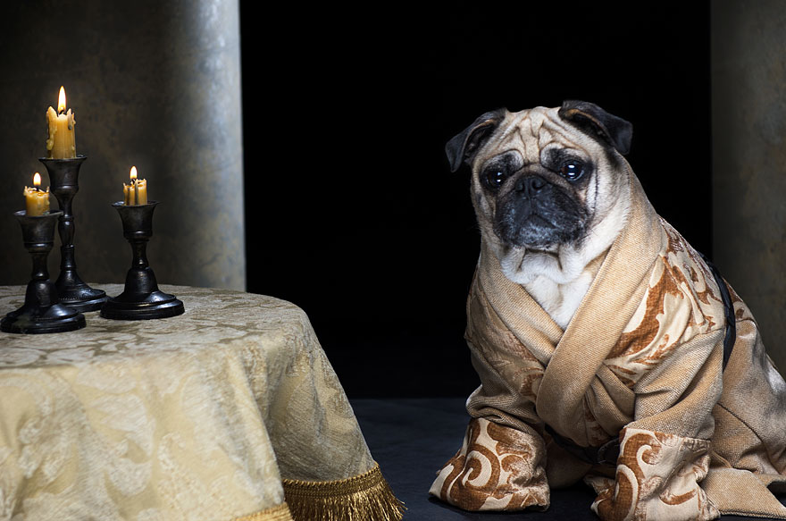 Pug Iphone Wallpaper The Pugs Of Westeros Three Pugs Re Enact Game Of Thrones