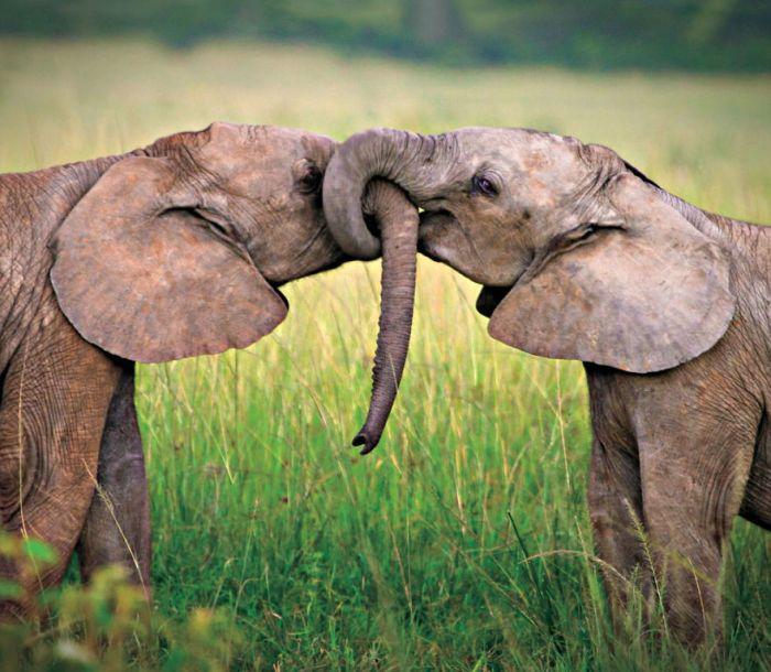 Słoń afrykański Miłość