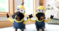 Wiener Dog Minions Look Ridiculously Awesome In These DIY ...