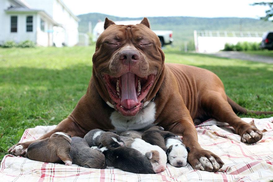 World\u0027s Largest Pitbull \u201cHulk\u201d Has 8 Puppies Worth Up To Half A