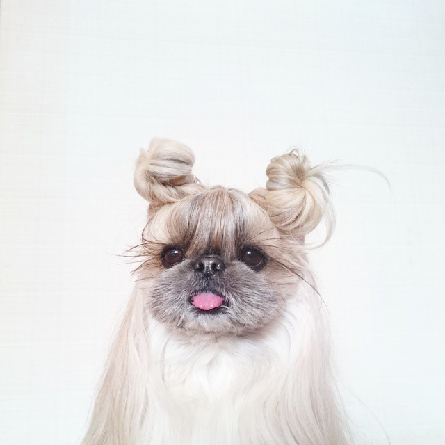Shih Tzu Wallpaper Iphone This Derpy Dog Has The Most Fabulous Hair On Instagram