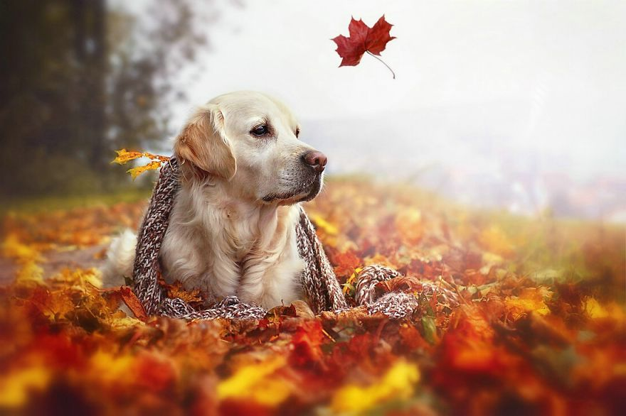 Foggy Fall Wallpaper Autumn Dog Me And My Golden Retriever Love This Time Of