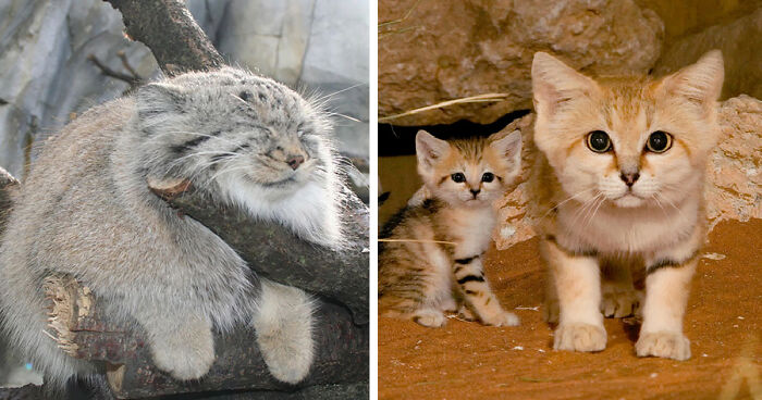 21 Rare Wild Cat Species You Probably Didn\u0027t Know Exist Bored Panda