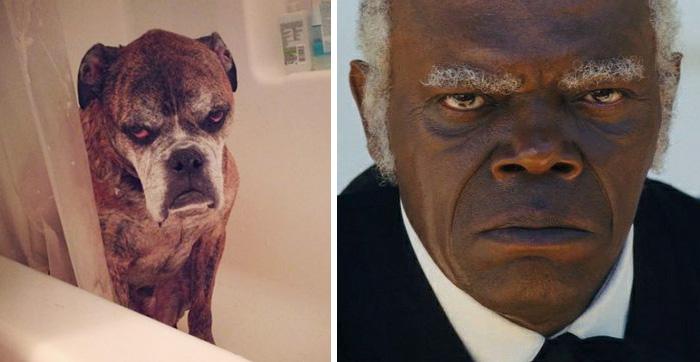 Ten pies wygląda jak Samuel L. Jackson