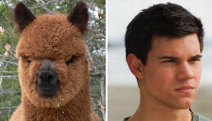 Alpaca wygląda Taylor Lautner