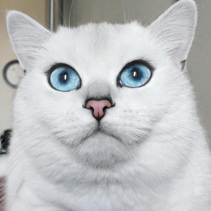 najbardziej piękne-eyes-cat-COBY-brytyjsko-krótkowłosy-25