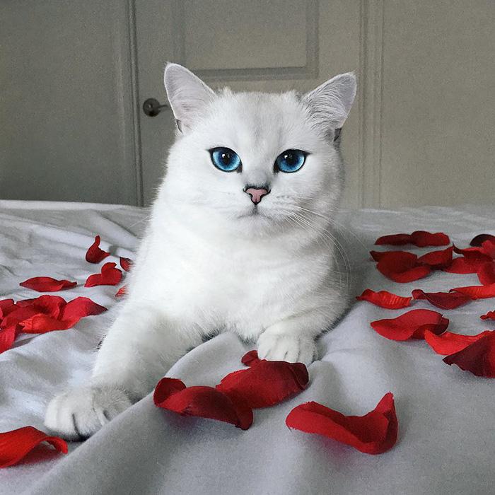 najbardziej piękne-eyes-cat-COBY-brytyjsko-krótkowłosy-4
