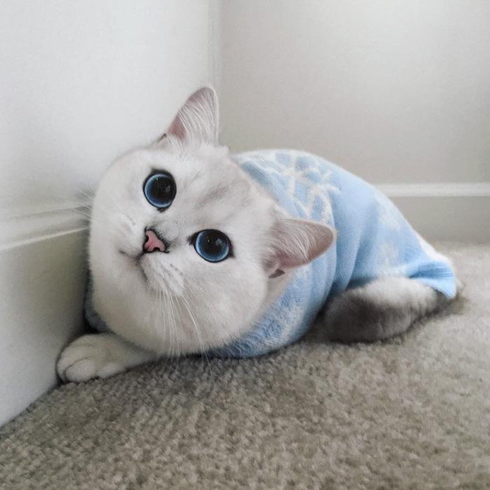 najbardziej piękne-eyes-cat-COBY-brytyjsko-krótkowłosy-42