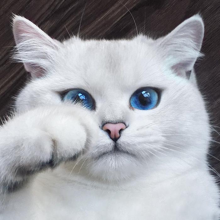 najbardziej piękne-eyes-cat-COBY-brytyjsko-krótkowłosy-44