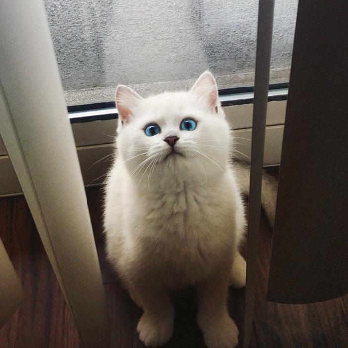 najbardziej piękne-eyes-cat-COBY-brytyjsko-krótkowłosy-49