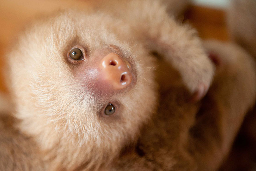 Cute Sloth Wallpaper There S A Sloth Institute Which Looks After Baby Sloths