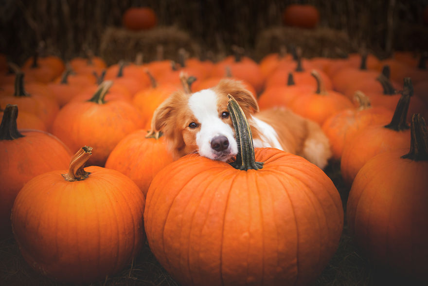 Really Cute Thanksgiving Wallpaper My Dogs And I Found A Place Full Of Pumpkins And Decided