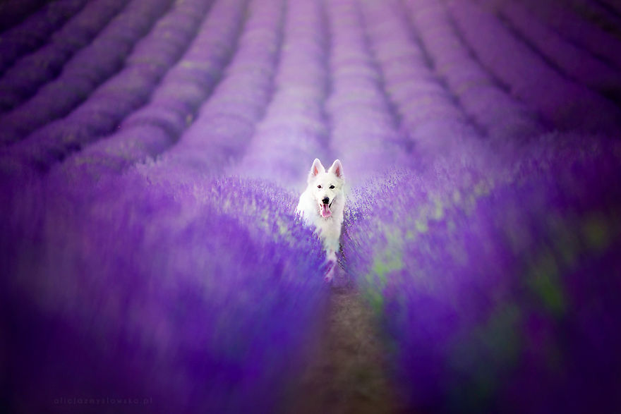 Cute Saying Hd Wallpapers I Brought Our Dogs To The Lavender Gardens To Capture