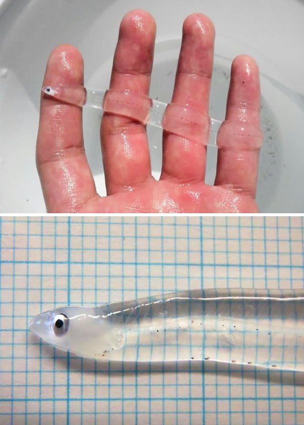 10+ Transparent Animals That Are Hard To Believe Actually Exist