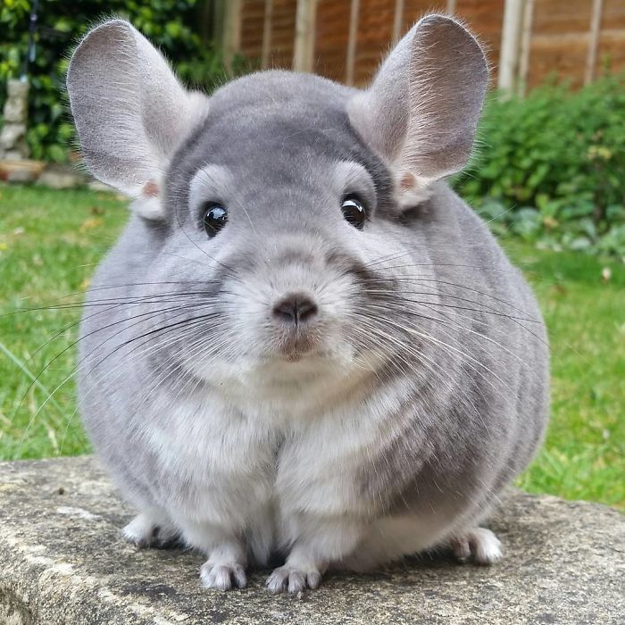Cat Cute Wallpaper Download These Chinchillas Butts Are So Round They Look Fake