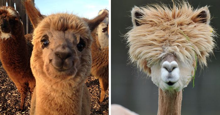 37 Alpacas That Will Make Your Day Bored Panda