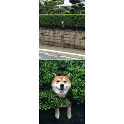 Small Crop Of Shiba Inu Funny