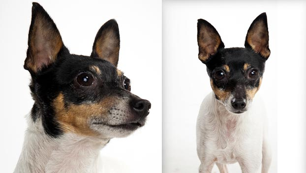 Chihuahua Wallpaper For Iphone Gallery Toy Fox Terrier Dogs