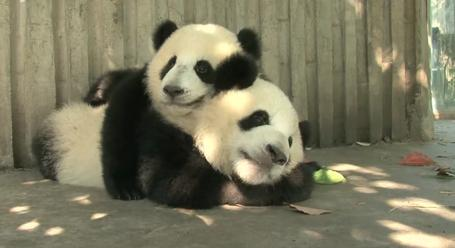 23 Baby Pandas Are Exactly As Cute As You39d Expect Digg