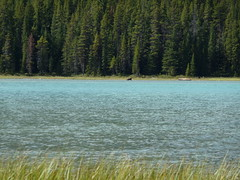 Moose in Waterfowl Lakes