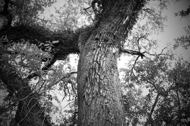Charleston Trees