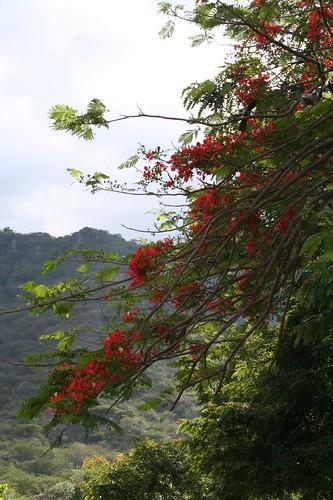 Fire tree blooms, Cemetary, Jinotega