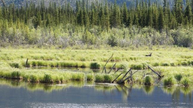 Moose near the Alaska Highway