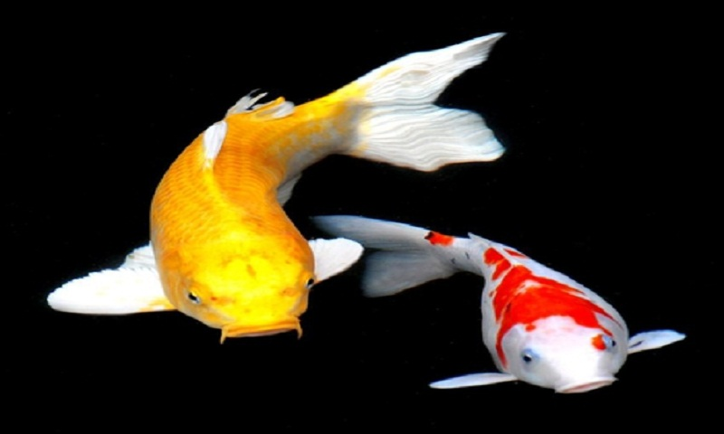 Koi Fish 3d Wallpaper Free Download Free Koi Fish Hd Live Wallpaper Apk Download For Android