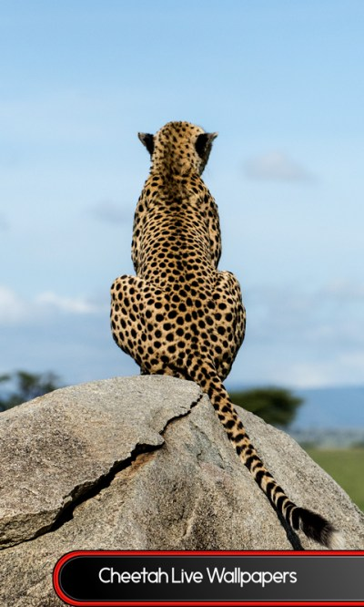 Free Cheetah Live Wallpapers APK Download For Android | GetJar