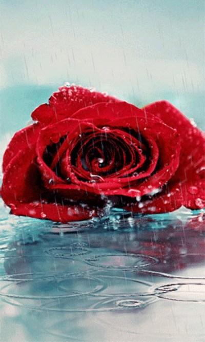 Free Red Rose Live Wallpape APK Download For Android   GetJar