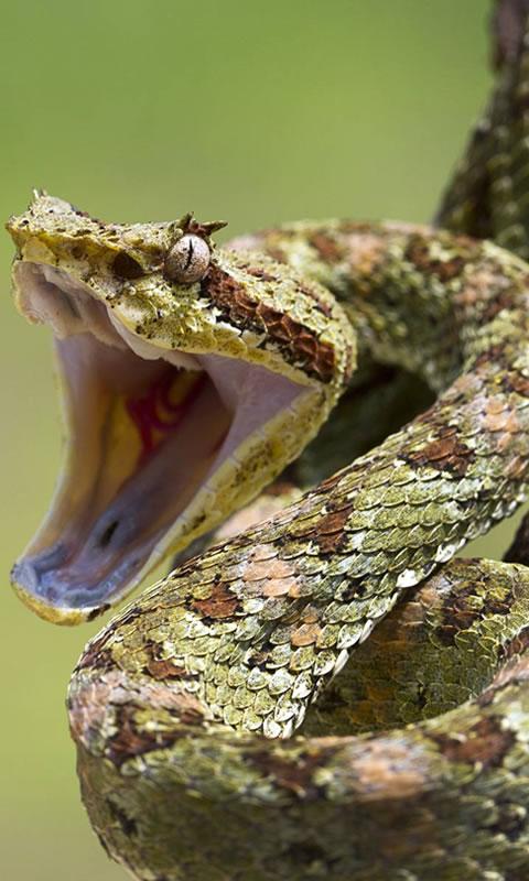 3d Wallpaper Apk Download Free Viper Snakes Hd Wallpaper Apk Download For Android