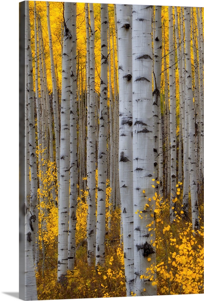 A forest of aspen trees with golden yellow leaves in