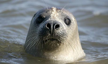 Cute Seal Wallpaper Not So Common Scientists Raise Alarm As Britain S Seals