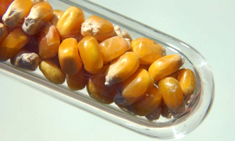 Genetically modified corn in a test tube