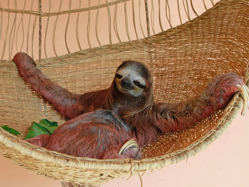 Cute Sloth Wallpaper The Slow Shall Inherit The Earth The Independent