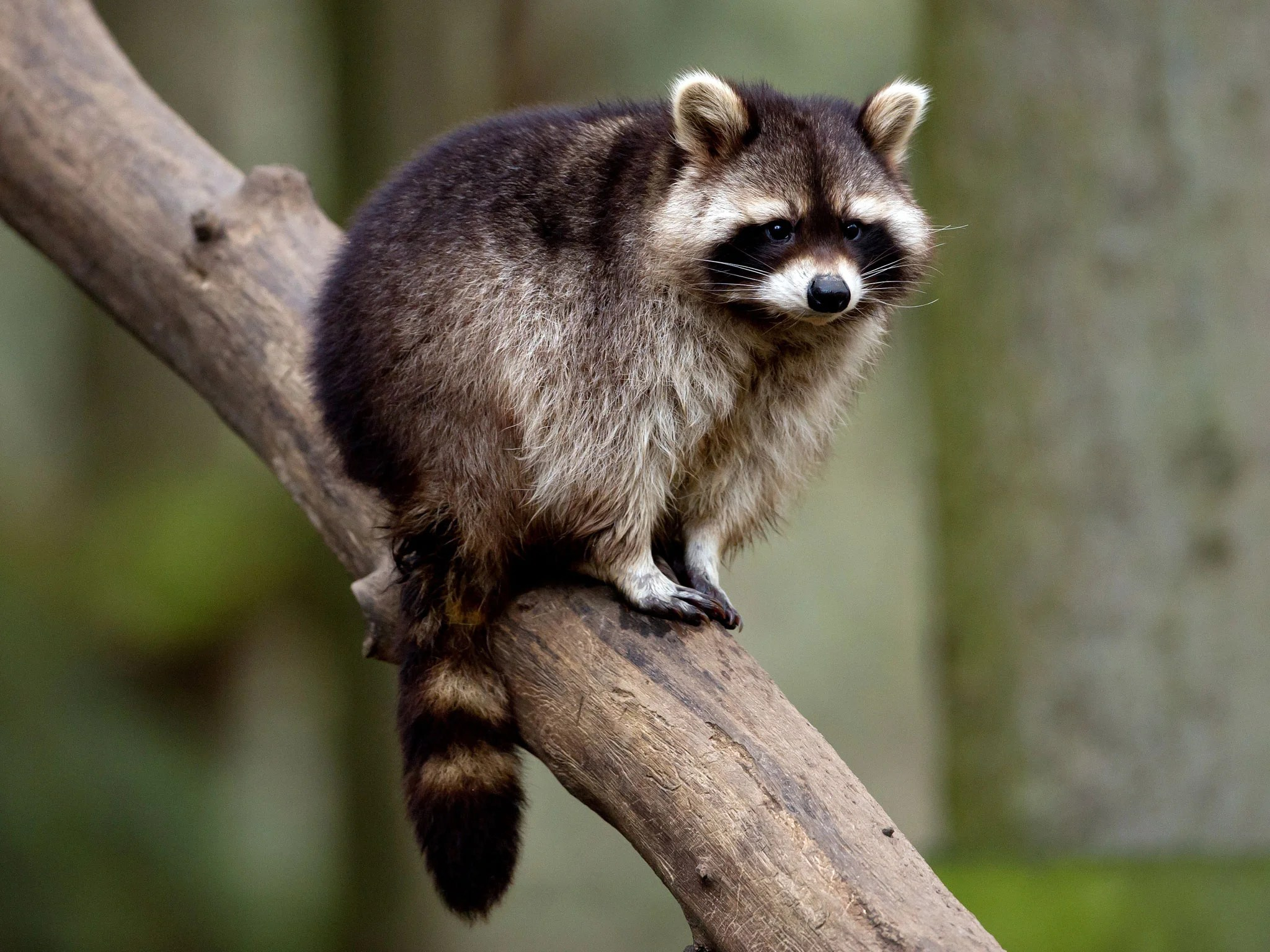 Cute Science Wallpaper Raccoon Escapes From Flooded Somerset Zoo The Independent
